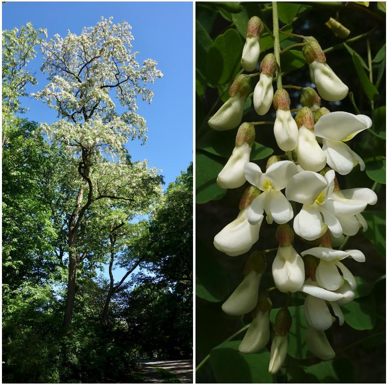 black locust tree and raceme
