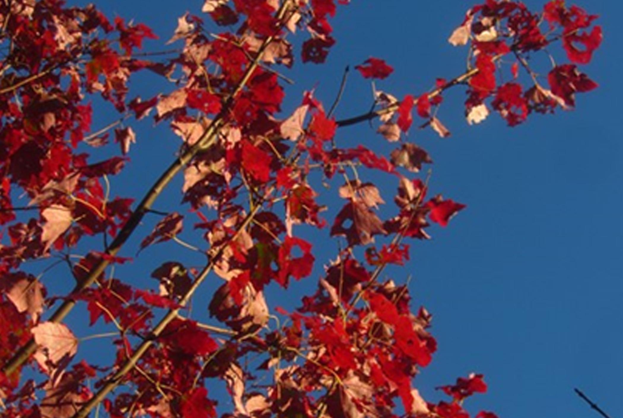 Leaves of Acer rubrum 'Schlesingeri' in fall color