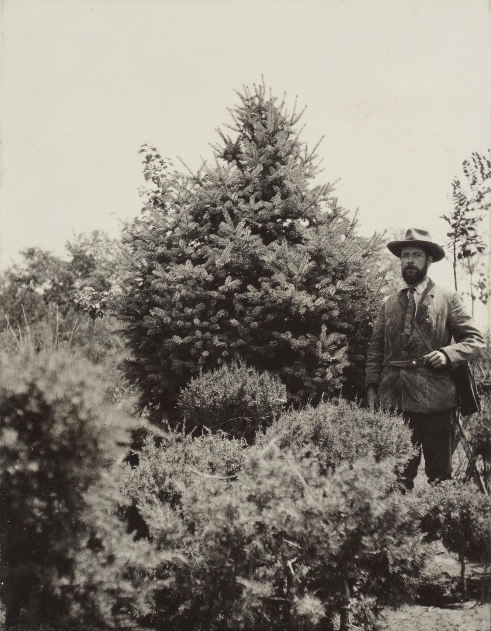 Frank Meyer stands beside a namesake spruce (Picea meyeri) near Beijing in 1907.